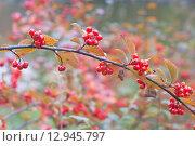 Купить «Спелые ягоды кизильника на осенней ветке. Фокус на переднем плане», эксклюзивное фото № 12945797, снято 24 октября 2015 г. (c) Svet / Фотобанк Лори