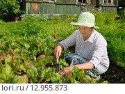 Купить «Пожилая женщина рыхлит землю на грядке с молодой свёклой», фото № 12955873, снято 26 июля 2015 г. (c) Максим Мицун / Фотобанк Лори