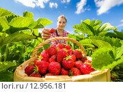 Девушка собирает клубнику. Стоковое фото, фотограф Petri Jauhiainen / Фотобанк Лори