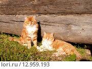 Семья рыжих котов. Стоковое фото, фотограф Оксана Лычева / Фотобанк Лори