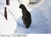 Любопытная кошка на тропинке в снегу. Стоковое фото, фотограф Мария Северина / Фотобанк Лори