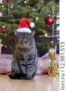 Купить «Grey cat with santa hat.», фото № 12981513, снято 26 июня 2019 г. (c) PantherMedia / Фотобанк Лори