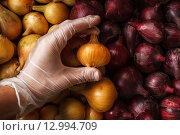Контроль качества: рука в перчатке проверяет репчатый лук. Стоковое фото, фотограф Виктор Колдунов / Фотобанк Лори