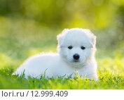 Купить «Полуторамесячный щенок - метис лабрадора и самоедской собаки», фото № 12999409, снято 17 августа 2014 г. (c) Абрамова Ксения / Фотобанк Лори