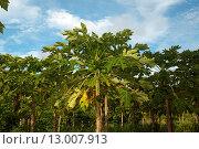 Купить «Плантации папайи (Carica papaya), остров Thoddoo в Индийском океане», фото № 13007913, снято 25 октября 2015 г. (c) KEN VOSAR / Фотобанк Лори