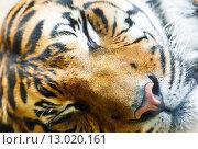 Купить «sleeping tiger», фото № 13020161, снято 29 мая 2012 г. (c) Юрий Брыкайло / Фотобанк Лори