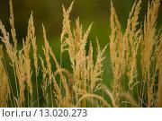 Купить «Close-up of yellow autumn grass after dry summer», фото № 13020273, снято 28 мая 2018 г. (c) PantherMedia / Фотобанк Лори