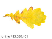 Купить «dry fallen yellow oak tree autumn leaf», фото № 13030401, снято 7 октября 2015 г. (c) Syda Productions / Фотобанк Лори