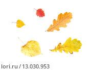 Купить «set of different fallen autumn leaves», фото № 13030953, снято 7 октября 2015 г. (c) Syda Productions / Фотобанк Лори