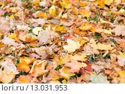 Купить «close up of fallen maple leaves on grass», фото № 13031953, снято 9 октября 2015 г. (c) Syda Productions / Фотобанк Лори