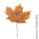 Кленовый лист на изолированном белом фоне. Стоковое фото, фотограф Королева Юлия / Фотобанк Лори