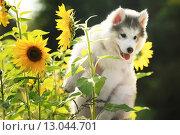 Пушистый щенок маламута среди подсолнухов. Стоковое фото, фотограф Савчук Алексей / Фотобанк Лори