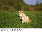 Собака маламут сидит на траве. Стоковое фото, фотограф Савчук Алексей / Фотобанк Лори