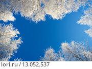 Купить «Белые кроны берез в инее на фоне голубого неба», фото № 13052537, снято 11 ноября 2015 г. (c) Алексей Маринченко / Фотобанк Лори