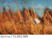 Голубянка. Стоковое фото, фотограф Сергей Бисеров / Фотобанк Лори