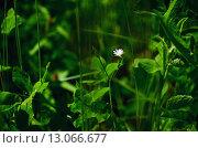 Маленький белый цветок в зеленой траве. Стоковое фото, фотограф Людмила Герасимова / Фотобанк Лори