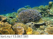 Подводный сад в индийском океане. Стоковое фото, фотограф Лидия Хвесюк / Фотобанк Лори