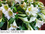 Купить «Amaryllis flowers bouquet», фото № 13072189, снято 24 марта 2014 г. (c) Юрий Брыкайло / Фотобанк Лори