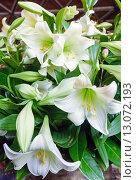 Купить «Amaryllis flowers bouquet», фото № 13072193, снято 24 марта 2014 г. (c) Юрий Брыкайло / Фотобанк Лори