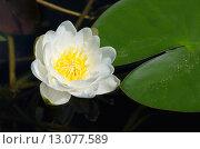 Купить «Белая кувшинка, или водяная лилия (лат. Nymphaea alba)», фото № 13077589, снято 22 июня 2015 г. (c) Елена Коромыслова / Фотобанк Лори