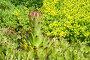 Молодило (лат. Sempervivum) на фоне Очитка едкого (лат. Sedum acre), фото № 13077597, снято 22 июня 2015 г. (c) Елена Коромыслова / Фотобанк Лори