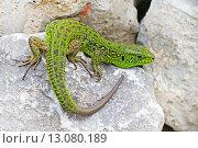 Зелёная ящерица(Lacerta viridis) — вид ящериц из рода Зелёных ящериц. Ящерица греется на солнце. Стоковое фото, фотограф Евгений Мухортов / Фотобанк Лори