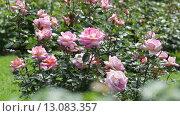 Купить «blossoming roses plant in spring garden», видеоролик № 13083357, снято 23 мая 2015 г. (c) Яков Филимонов / Фотобанк Лори