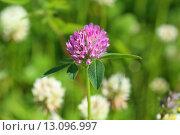 Клевер луговой (красный). Trifolium pratense. Цветение растения на Ямале. Стоковое фото, фотограф Григорий Писоцкий / Фотобанк Лори