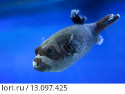 Купить «Рыба в океанариуме», фото № 13097425, снято 8 ноября 2015 г. (c) Литвяк Игорь / Фотобанк Лори