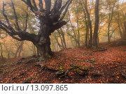 Купить «Старые буки в осеннем лесу. Демерджи. Крым», фото № 13097865, снято 22 октября 2015 г. (c) Оксана Гильман / Фотобанк Лори