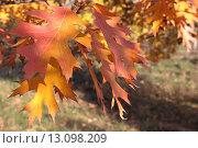 Купить «Оранжевые осенние листья дуба красного (Quércus rubra) крупным планом», эксклюзивное фото № 13098209, снято 5 ноября 2015 г. (c) Ирина Водяник / Фотобанк Лори