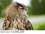 Крупным планом сова. Стоковое фото, фотограф Pavel Reband / Фотобанк Лори