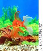 Купить «Золотая рыбка в интерьере аквариума», фото № 13098921, снято 22 ноября 2015 г. (c) Григорий Писоцкий / Фотобанк Лори