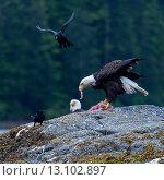 Купить «Eagle feeding, Skeena-Queen Charlotte Regional District, Haida Gwaii, Graham Island, British Columbia, Canada», фото № 13102897, снято 22 июля 2014 г. (c) Ingram Publishing / Фотобанк Лори