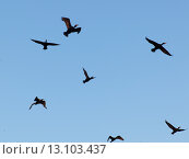 Купить «Flock of birds flying in the sky, Lake Of The Woods, Ontario, Canada», фото № 13103437, снято 18 июня 2019 г. (c) Ingram Publishing / Фотобанк Лори