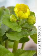 Купить «Caltha palustris», фото № 13150369, снято 14 марта 2008 г. (c) age Fotostock / Фотобанк Лори