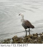 Купить «Magellan goose (Chloephaga picta)», фото № 13154917, снято 29 ноября 2013 г. (c) Ingram Publishing / Фотобанк Лори