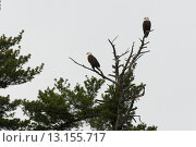 Купить «Low angle view of two eagles perching on tree branch, Lake Of The Woods, Ontario, Canada», фото № 13155717, снято 31 мая 2014 г. (c) Ingram Publishing / Фотобанк Лори