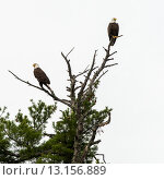 Купить «Low angle view of two eagles perching on tree branch», фото № 13156889, снято 31 мая 2014 г. (c) Ingram Publishing / Фотобанк Лори