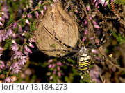 black_and_yellow argiope, black_and_yellow garden spider Argiope bruennichi, female guarding egg cocoon, Germany, North Rhine_Westphalia, Westruper Heide, Aug 05. Стоковое фото, фотограф B  Lamm / age Fotostock / Фотобанк Лори