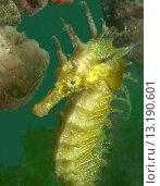 Купить «Spiny seahorse is well camouflaged in a sea grass habitat», фото № 13190601, снято 20 января 2019 г. (c) age Fotostock / Фотобанк Лори