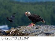 Купить «Bald Eagle feeding on prey, Skeena-Queen Charlotte Regional District, Haida Gwaii, Graham Island, British Columbia, Canada», фото № 13213941, снято 22 июля 2014 г. (c) Ingram Publishing / Фотобанк Лори