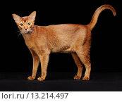 Купить «Portrait of beautiful young abyssinian cat», фото № 13214497, снято 15 мая 2015 г. (c) Ingram Publishing / Фотобанк Лори