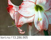 Купить «Pink Amaryllis flowers», фото № 13286905, снято 28 марта 2014 г. (c) Юрий Брыкайло / Фотобанк Лори