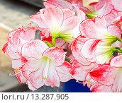 Купить «Amaryllis flowers bouquet», фото № 13287905, снято 28 марта 2014 г. (c) Юрий Брыкайло / Фотобанк Лори