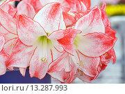 Купить «Amaryllis flowers bouquet», фото № 13287993, снято 28 марта 2014 г. (c) Юрий Брыкайло / Фотобанк Лори