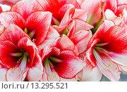 Купить «Pink Amaryllis flowers», фото № 13295521, снято 28 марта 2014 г. (c) Юрий Брыкайло / Фотобанк Лори