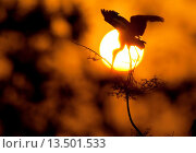 Купить «Painted Stork Keoladeo Ghana National Park previously Bharatpur Bird Sanctuary Bharatpur Rajasthan India», фото № 13501533, снято 20 января 2020 г. (c) age Fotostock / Фотобанк Лори