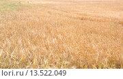 Купить «close-up view of wheat field in sunny day», видеоролик № 13522049, снято 22 октября 2015 г. (c) Яков Филимонов / Фотобанк Лори