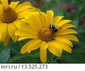 Купить «Two yellow coneflowers with bee», фото № 13525273, снято 7 июля 2020 г. (c) age Fotostock / Фотобанк Лори